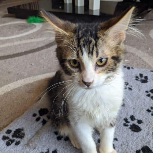 Boe ❤ - Domestic Short Hair Cat
