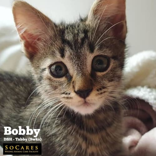 Bobby - Domestic Short Hair Cat