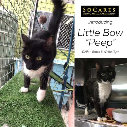 Little Bow Peep - Domestic Medium Hair Cat