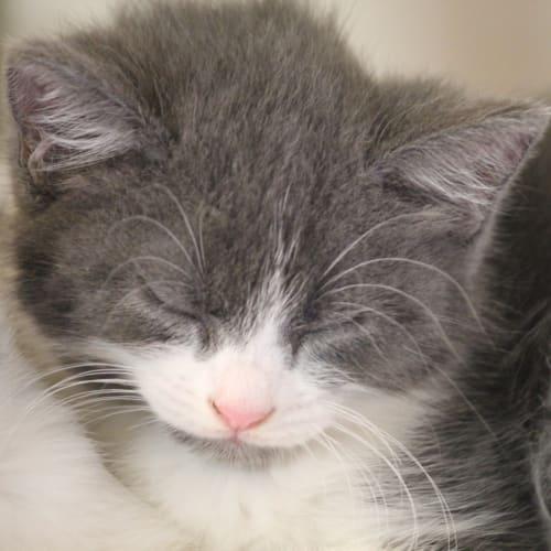 Everleigh - Domestic Medium Hair Cat