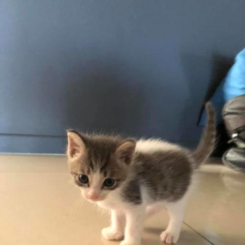 Brandt - Domestic Short Hair Cat