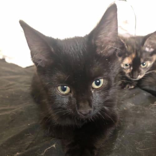 Tank - Domestic Short Hair Cat