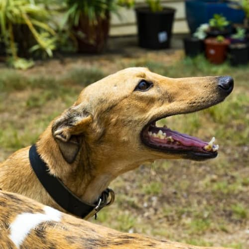 Honey - Greyhound Dog