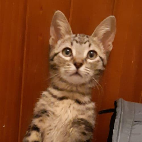 Ochre - Domestic Short Hair Cat