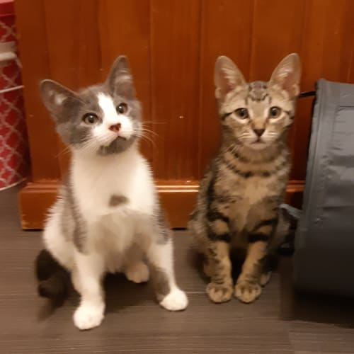 Oli and Ochre - Domestic Short Hair Cat