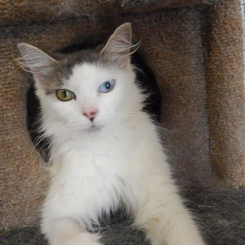 Zakaria - Domestic Medium Hair Cat