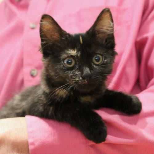 Latte ~ sweet female tortoiseshell kitten - Domestic Short Hair Cat
