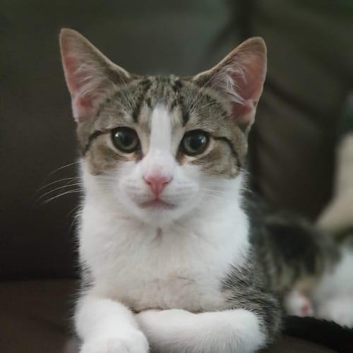 Dora - Meet me Sunday @Neko HQ, Preston - Domestic Short Hair Cat