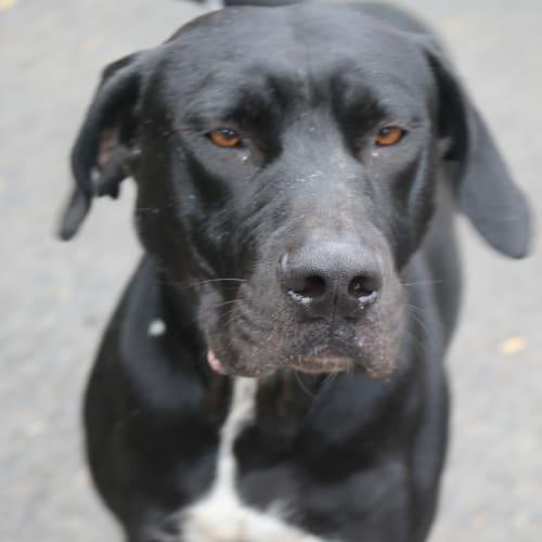 Bumper - Labrador x Staffy Dog
