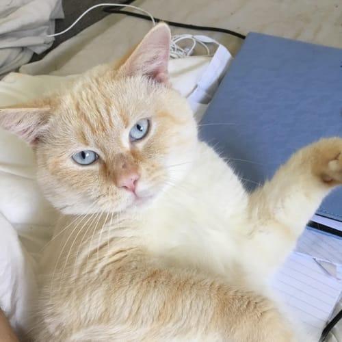 Vinnie (Vincent) - Domestic Short Hair Cat