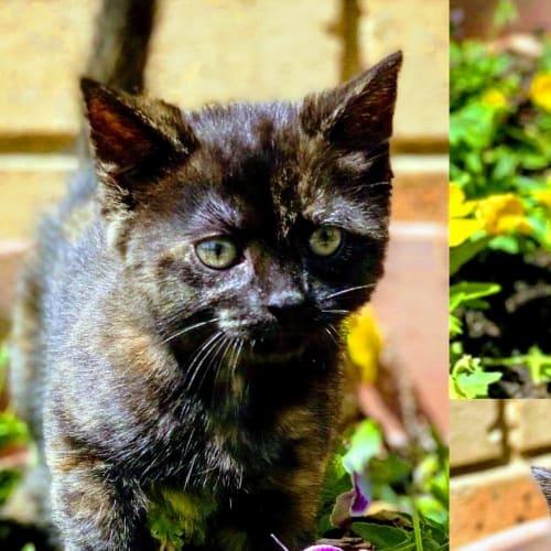Roo - Domestic Short Hair Cat