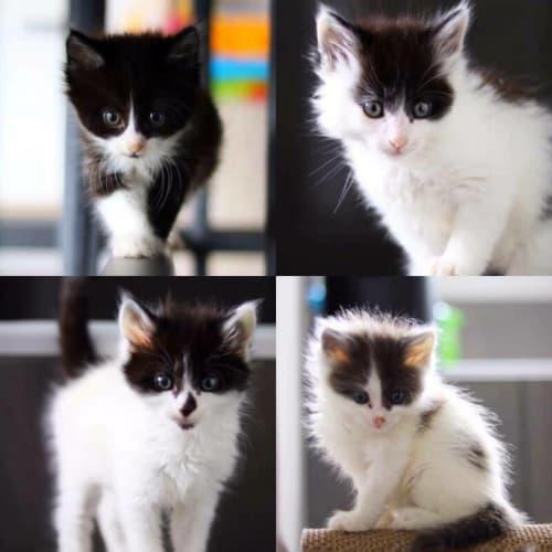 2136 – Yak  - Domestic Medium Hair Cat