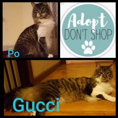 Gucci and Po   - Domestic Long Hair Cat