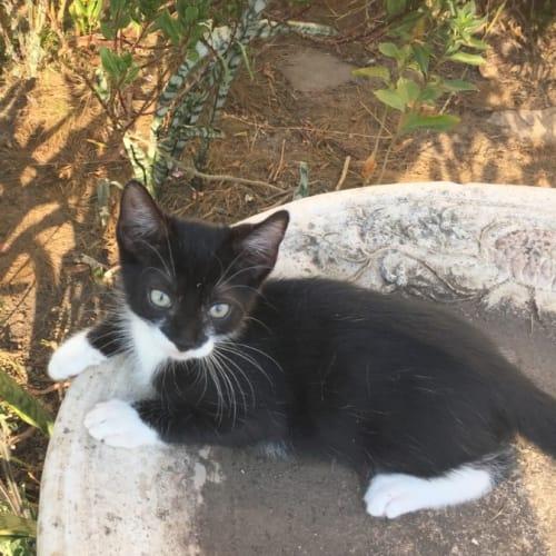 Travis - Domestic Short Hair Cat