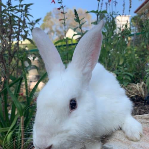 Snowy  - Dwarf x Flemish Giant Rabbit