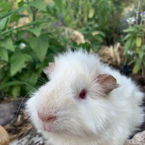 Nimbus  - Abyssinian Guinea Pig
