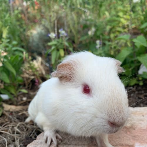 Cirrus - Smooth Hair Guinea Pig