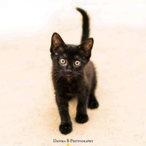 2087 – Sprout - Domestic Short Hair Cat