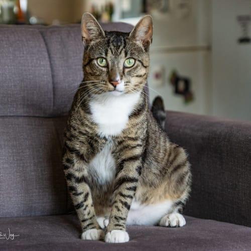 Bilby - Domestic Short Hair Cat
