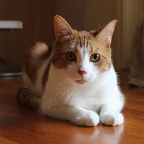 Theo - Located in Watsonia - Domestic Short Hair Cat