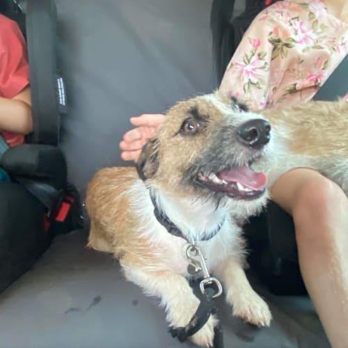 Gecko - Jack Russell Terrier Dog