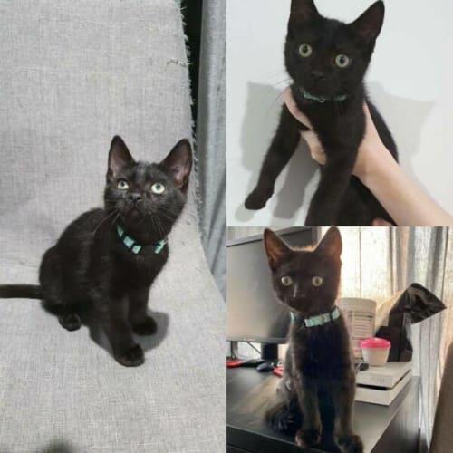Gabe - Domestic Short Hair Cat