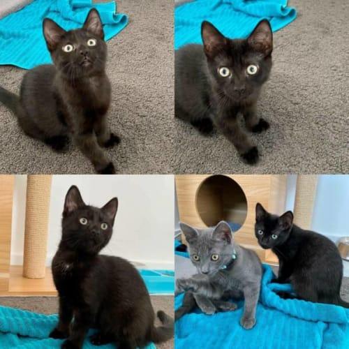 Georgia - Domestic Short Hair Cat