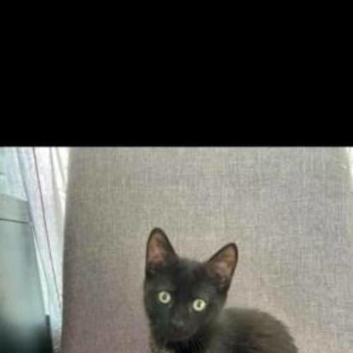 Gigi - Domestic Short Hair Cat