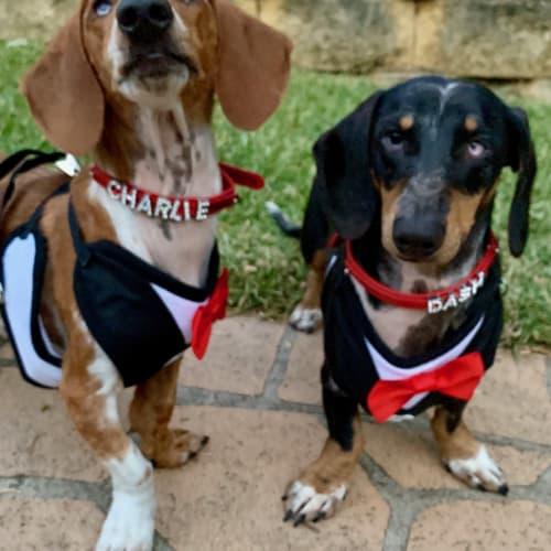 Charlie and Dash - Dachshund Dog