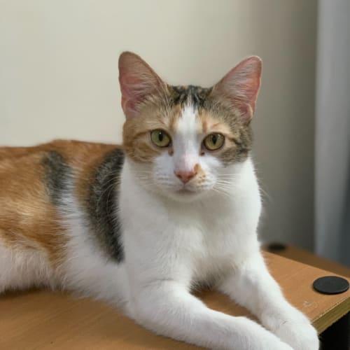 Sammi 💞 - Domestic Short Hair Cat