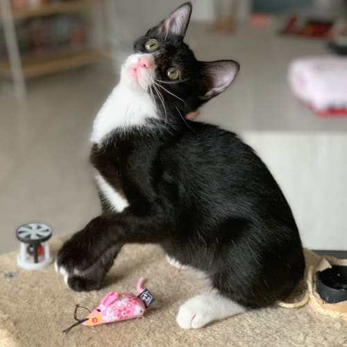 Gizmo 💗 - Domestic Short Hair Cat