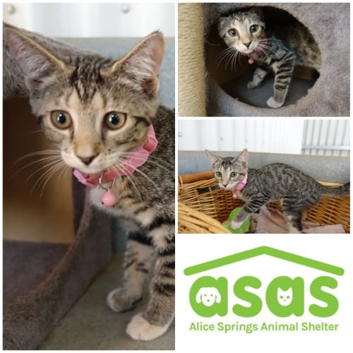 Addie  CT20-008 - Domestic Short Hair Cat