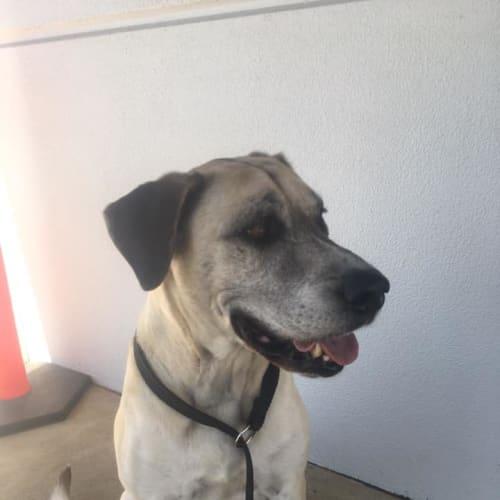 Malibu - Mastiff Dog