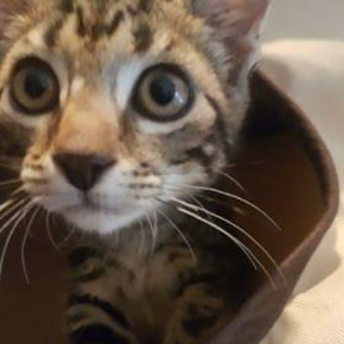 Bushranger - Domestic Short Hair Cat