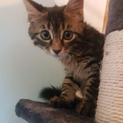 Captain - Domestic Medium Hair Cat