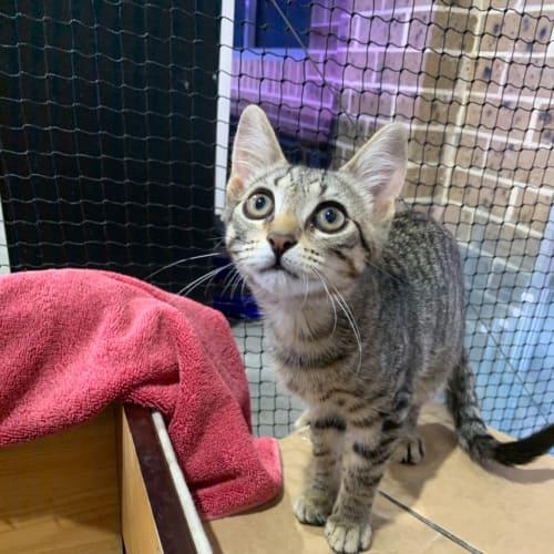 Tinkerbell - Domestic Short Hair Cat