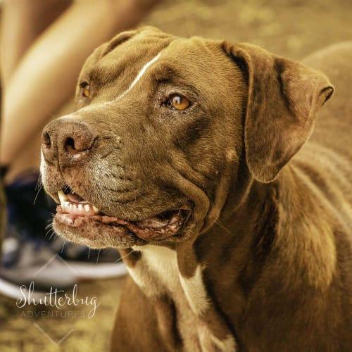Scarlett ~ 5yo Staffy x - Staffy Dog