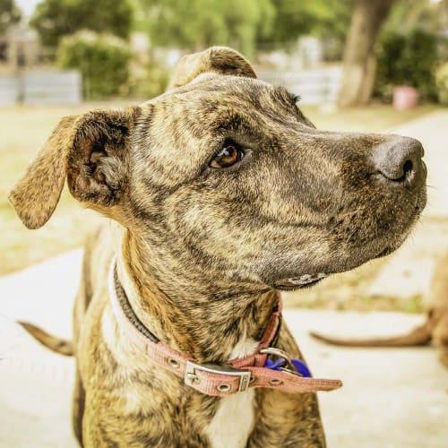 Sasha ~ lovely 8mo Staffy x - Staffy Dog