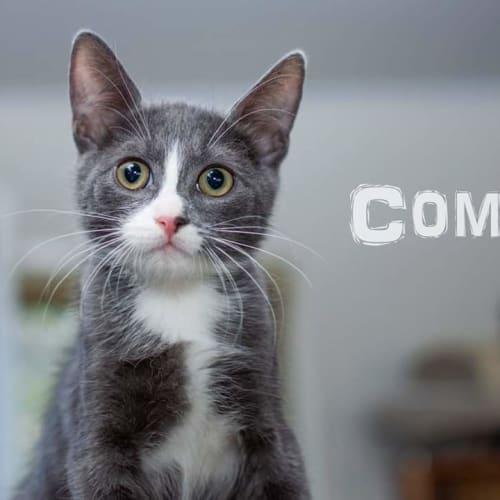 Comet - Domestic Short Hair Cat