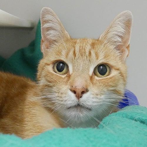 Garfield SUA004745 - Domestic Short Hair Cat