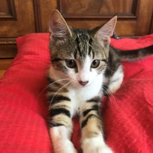 Buddha - Meet me Sunday @Neko HQ, Preston - Domestic Short Hair Cat