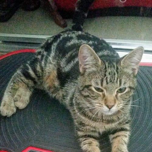 Shiraz - Domestic Short Hair Cat