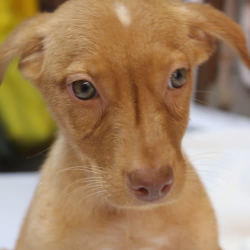 Peanut - Kelpie Dog