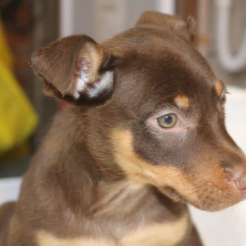 Link - Kelpie Dog