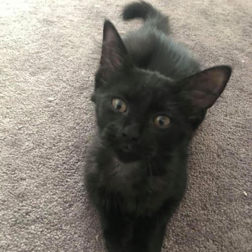 Raven - Visit Me at Cat Whispurr Cafe Fremantle! - Domestic Short Hair Cat