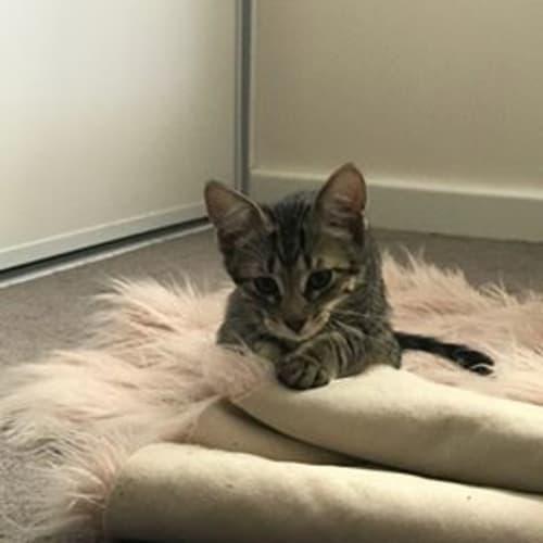 Vlad - Visit Me at Cat Whispurr Cafe Fremantle! - Domestic Short Hair Cat