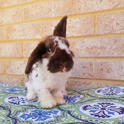 Kingston - Mini Lop Rabbit