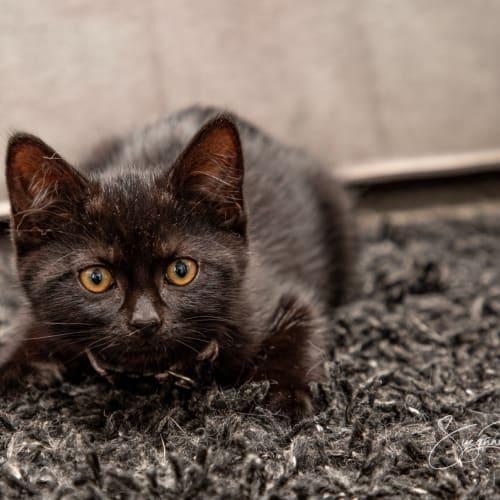 Berri  - Domestic Short Hair Cat