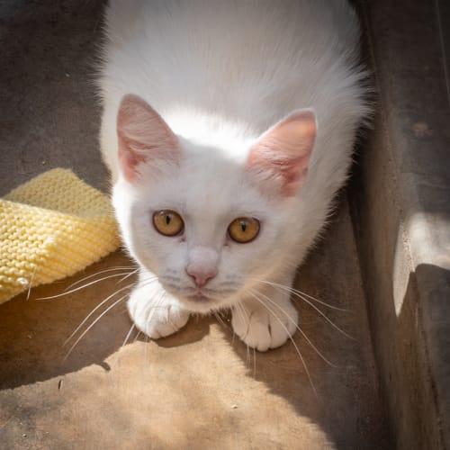 Dawn - Domestic Medium Hair Cat