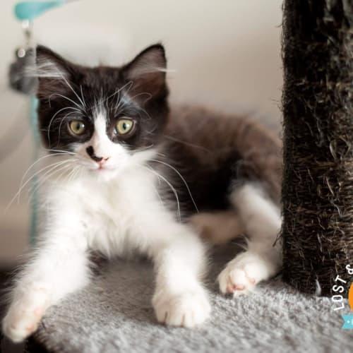 Cubby - Domestic Medium Hair Cat